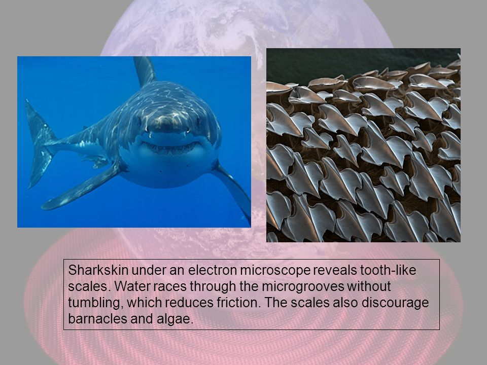 Sharkskin under an electron microscope reveals tooth-like scales. Water races through the microgrooves without tumbling, which reduces friction. The s
