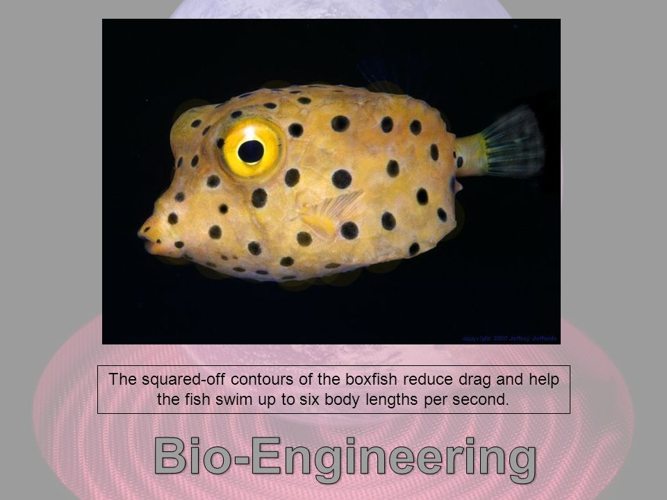 The squared-off contours of the boxfish reduce drag and help the fish swim up to six body lengths per second.