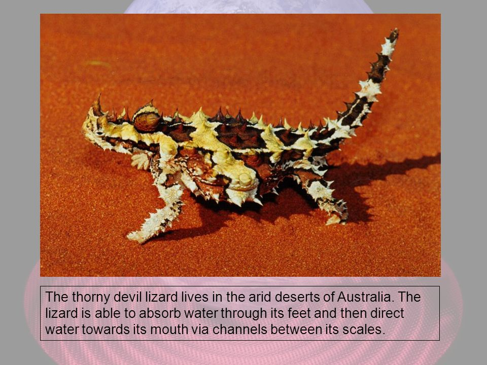 The thorny devil lizard lives in the arid deserts of Australia. The lizard is able to absorb water through its feet and then direct water towards its