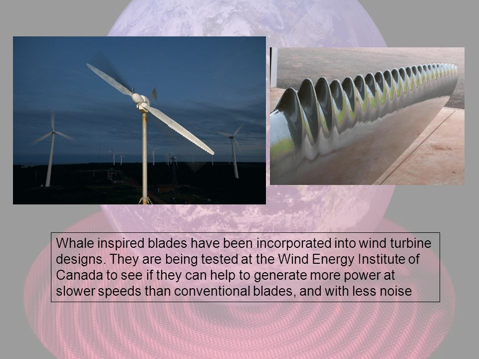 Whale inspired blades have been incorporated into wind turbine designs. They are being tested at the Wind Energy Institute of Canada to see if they ca