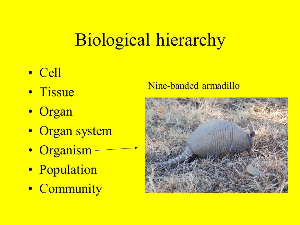 Biological hierarchy Cell Tissue Organ Organ system Organism Population Community Nine-banded armadillo