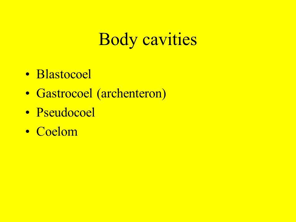 Body cavities Blastocoel Gastrocoel (archenteron) Pseudocoel Coelom