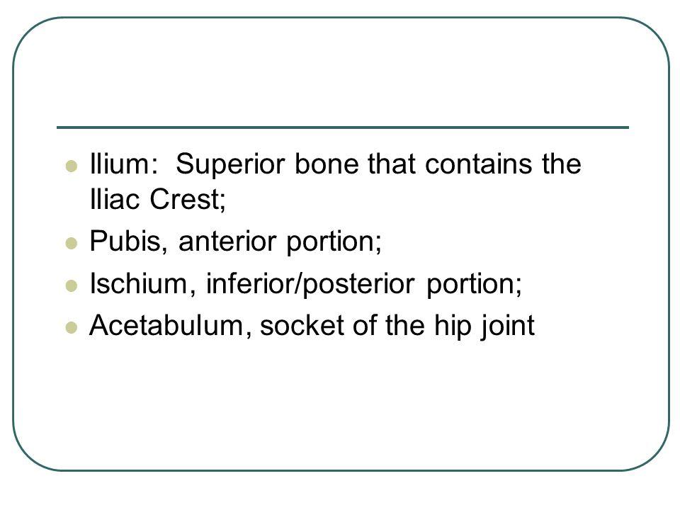 Ilium: Superior bone that contains the Iliac Crest; Pubis, anterior portion; Ischium, inferior/posterior portion; Acetabulum, socket of the hip joint