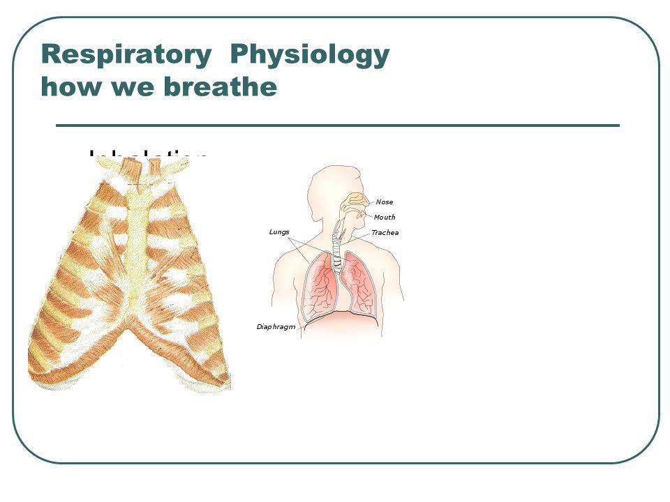 Respiratory Physiology how we breathe Inhalation