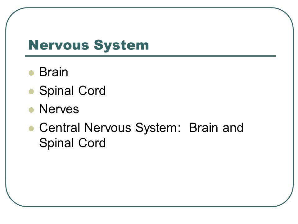 Nervous System Brain Spinal Cord Nerves Central Nervous System: Brain and Spinal Cord