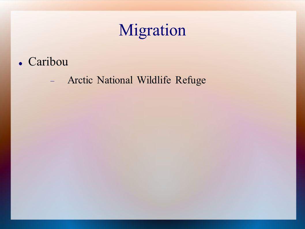 Migration Caribou Arctic National Wildlife Refuge