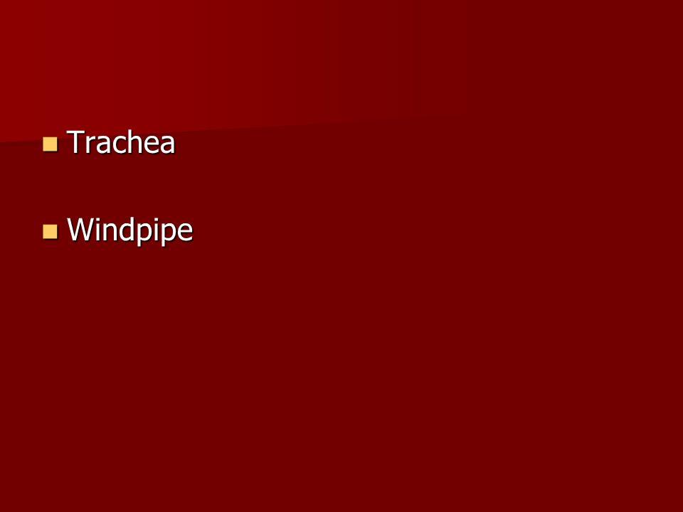 Trachea Windpipe
