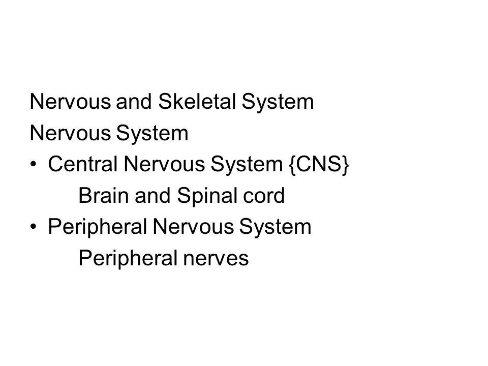 Nervous and Skeletal System Nervous System Central Nervous System {CNS} Brain and Spinal cord Peripheral Nervous System Peripheral nerves