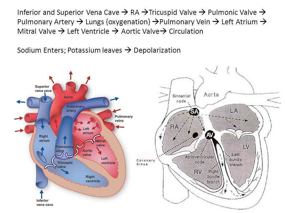 Inferior and Superior Vena Cave RA Tricuspid Valve Pulmonic Valve Pulmonary Artery Lungs {oxygenation} Pulmonary Vein Left Atrium Mitral Valve Left Ve