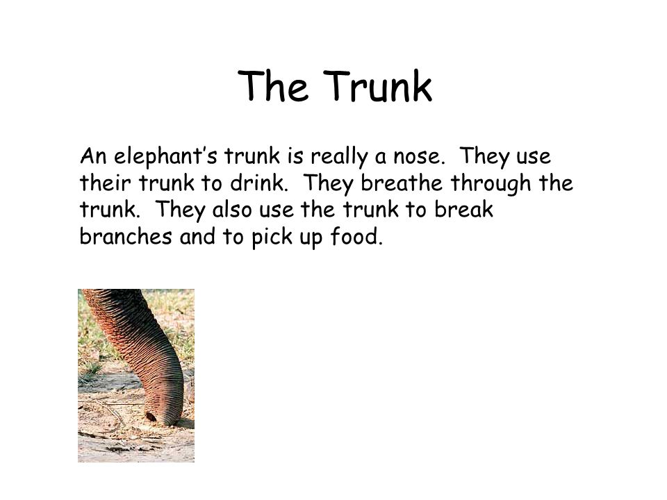 The Trunk An elephants trunk is really a nose. They use their trunk to drink. They breathe through the trunk. They also use the trunk to break branche