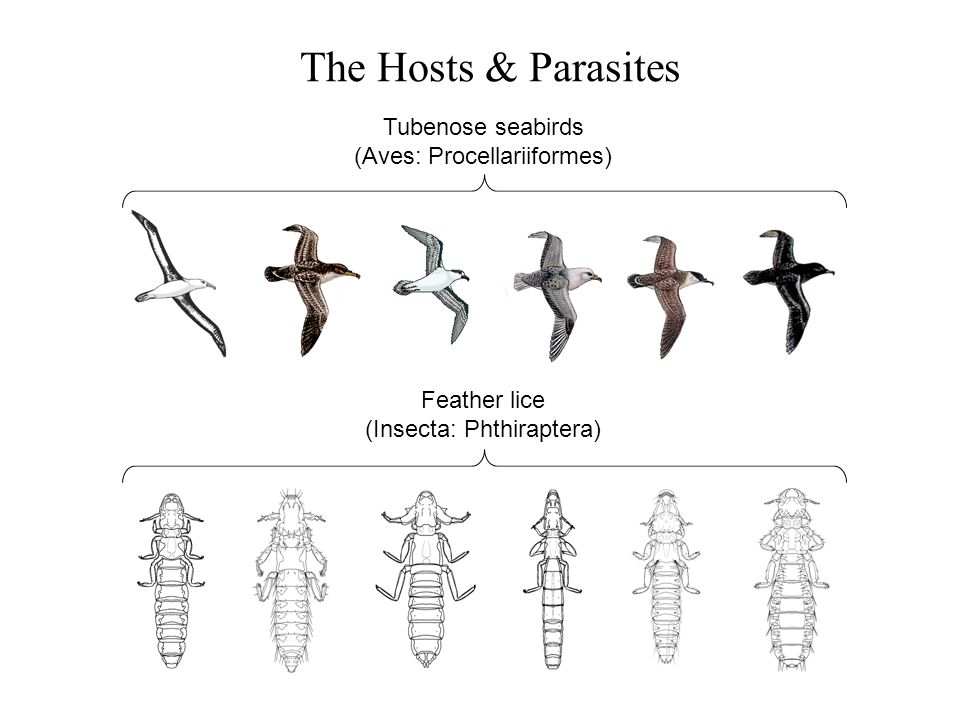 The Hosts & Parasites Feather lice (Insecta: Phthiraptera) Tubenose seabirds (Aves: Procellariiformes)