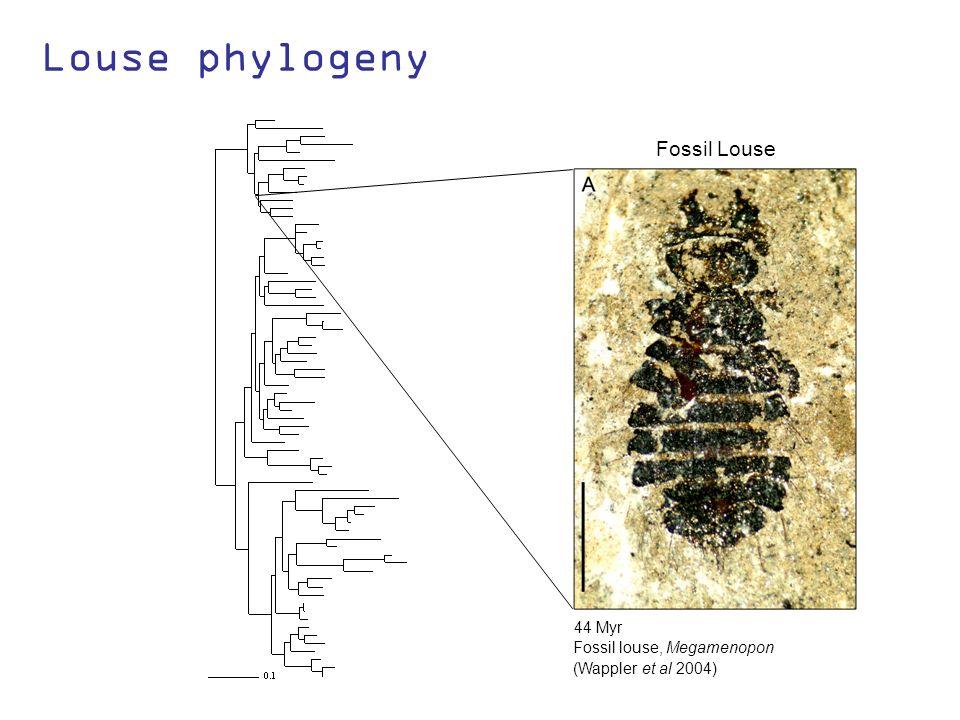 Louse phylogeny (Wappler et al 2004) 44 Myr Fossil louse, Megamenopon Fossil Louse