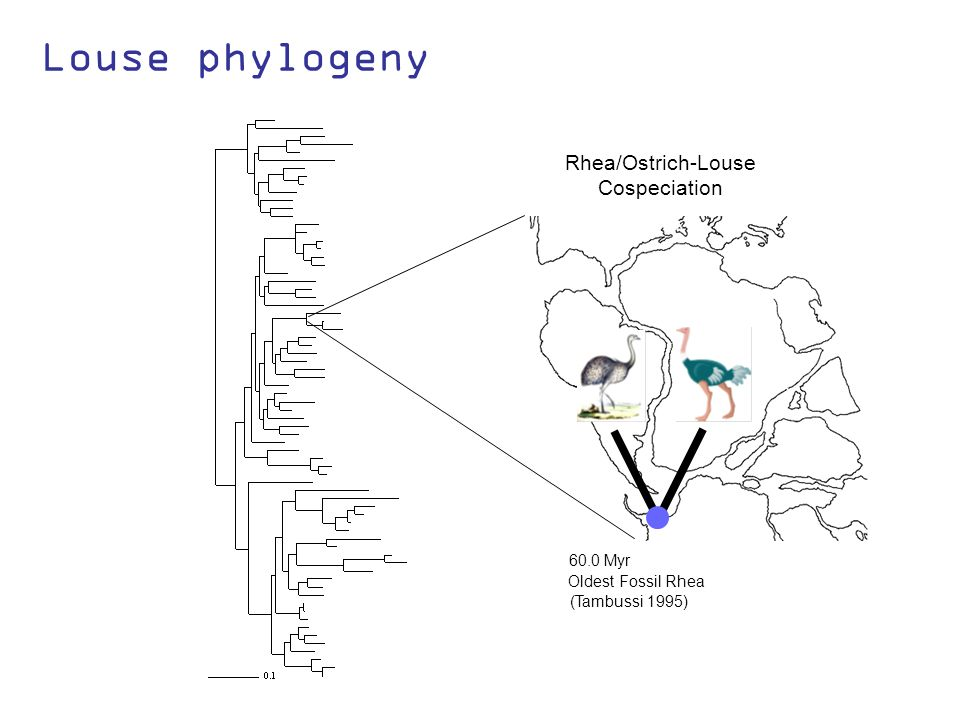 Louse phylogeny (Tambussi 1995) 60.0 Myr Oldest Fossil Rhea Rhea/Ostrich-Louse Cospeciation