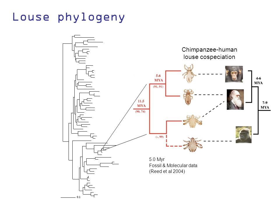 Louse phylogeny (Reed et al 2004) 5.0 Myr Fossil & Molecular data Chimpanzee-human louse cospeciation