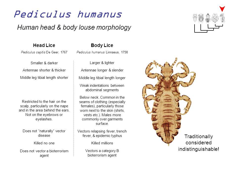 Pediculus humanus Human head & body louse morphology Head LiceBody Lice Pediculus humanus Linnaeus, 1758Pediculus capitis De Geer, 1767 Smaller & dark