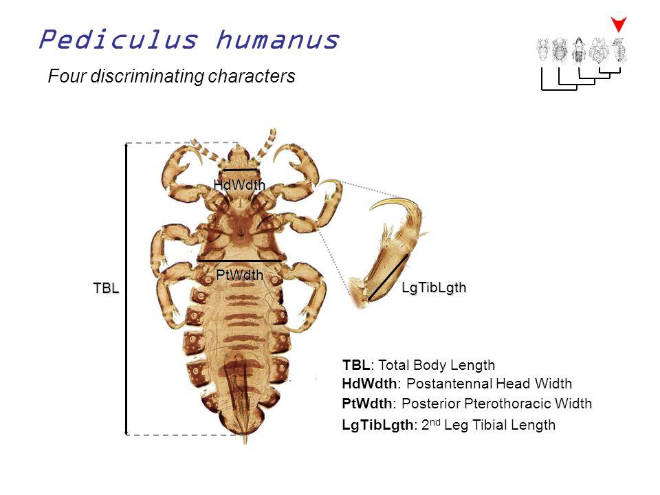 Pediculus humanus Four discriminating characters TBL TBL: Total Body Length LgTibLgth LgTibLgth: 2 nd Leg Tibial Length HdWdth HdWdth: Postantennal He