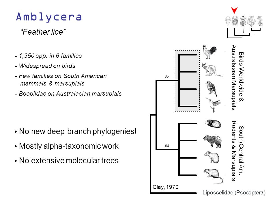 Amblycera Feather lice No new deep-branch phylogenies! - 1,350 spp. in 6 families - Widespread on birds - Few families on South American mammals & mar