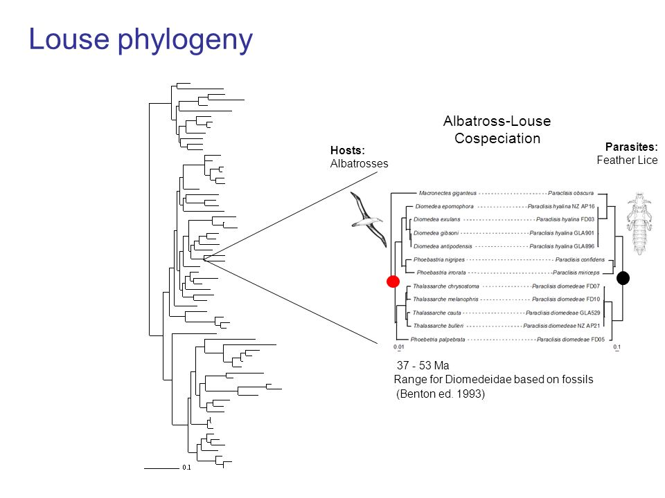 Louse phylogeny (Benton ed. 1993) 37 - 53 Ma Range for Diomedeidae based on fossils Albatross-Louse Cospeciation Hosts: Albatrosses Parasites: Feather