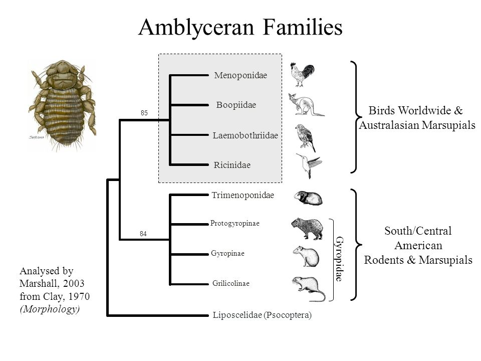 Much recent progress on basal phthirapteran phylogeny Monophyly of suborders well supported Complex pattern of host-louse relationships Distinctive molecular evolution in lice Incongruence between molecules & morphology Ongoing Questions… To what extent do lice cospeciate with their hosts.