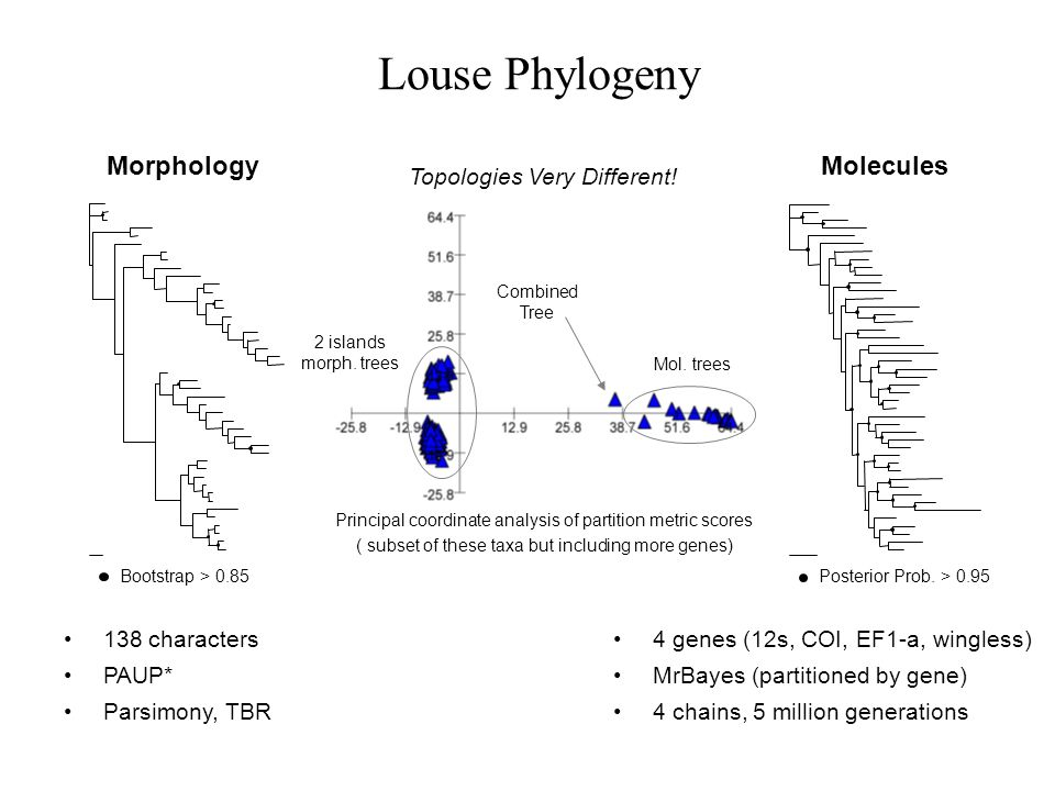 Louse Phylogeny 4 genes (12s, COI, EF1-a, wingless) MrBayes (partitioned by gene) 4 chains, 5 million generations Molecules Posterior Prob. > 0.95 Mor