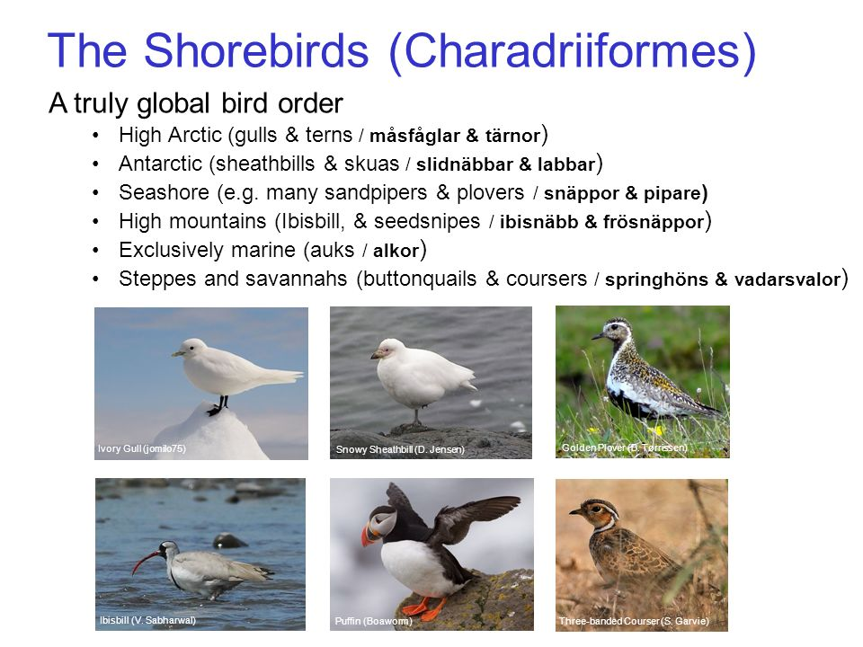 The Shorebirds (Charadriiformes) A truly global bird order High Arctic (gulls & terns / måsfåglar & tärnor ) Antarctic (sheathbills & skuas / slidnäbb