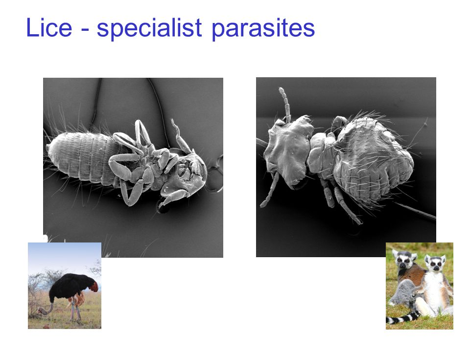 Lice - specialist parasites