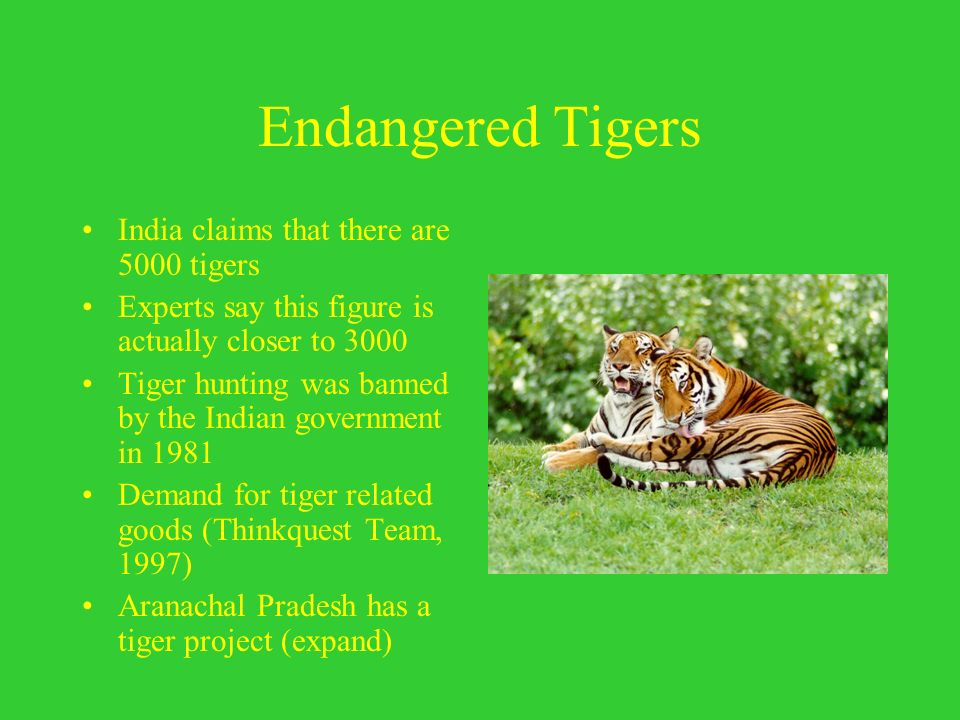 Endangered Tigers India claims that there are 5000 tigers Experts say this figure is actually closer to 3000 Tiger hunting was banned by the Indian go