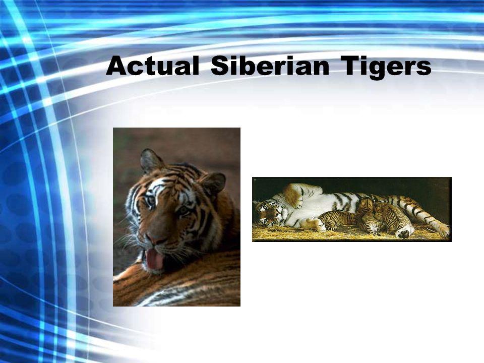 Actual Siberian Tigers