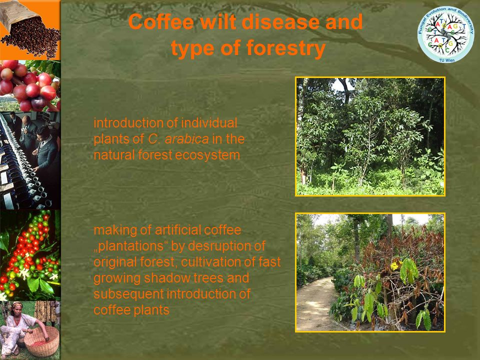 Coffee wilt disease and type of forestry making of artificial coffee plantations by desruption of original forest, cultivation of fast growing shadow