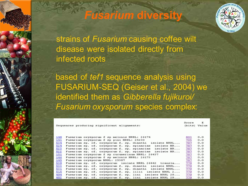 Fusarium diversity strains of Fusarium causing coffee wilt disease were isolated directly from infected roots based of tef1 sequence analysis using FU