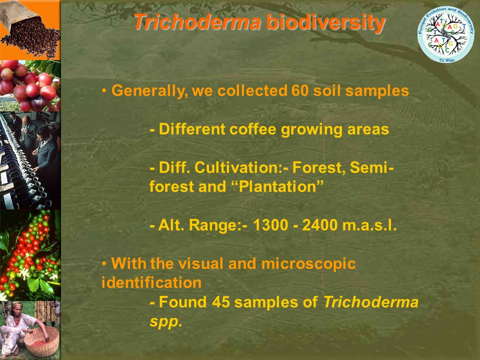 Trichoderma biodiversity Generally, we collected 60 soil samples - Different coffee growing areas - Diff. Cultivation:- Forest, Semi- forest and Plant