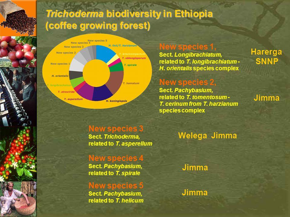 Trichoderma biodiversity in Ethiopia (coffee growing forest) New species 1, Sect. Longibrachiatum, related to T. longibrachiatum - H. orientalis speci