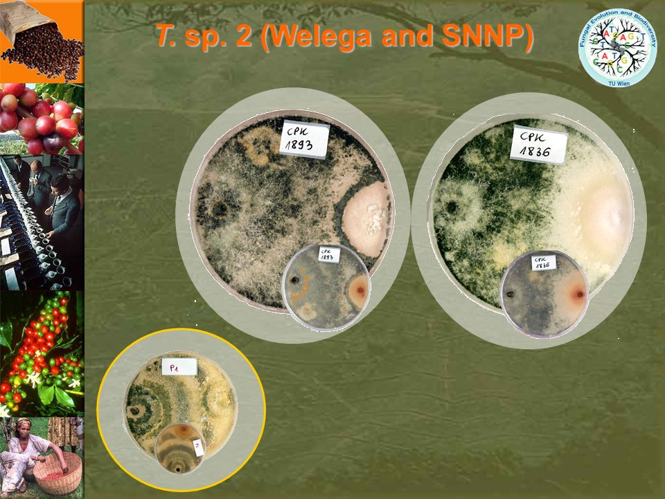 T. sp. 2 (Welega and SNNP)