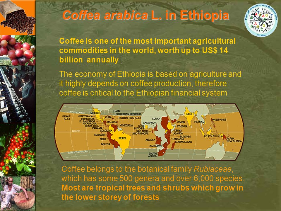 Coffea arabica L. in Ethiopia The economy of Ethiopia is based on agriculture and it highly depends on coffee production, therefore coffee is critical