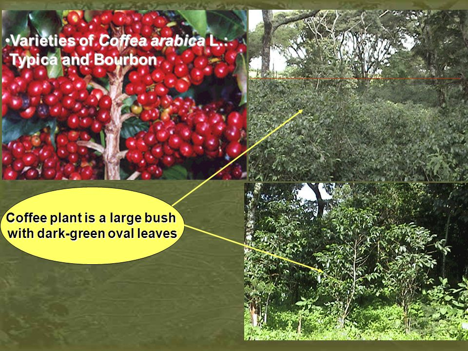 Coffee wilt desease (tracheomycosis) Currently, the Ethiopian national average of coffee yield is about 472 Kg ha-1.
