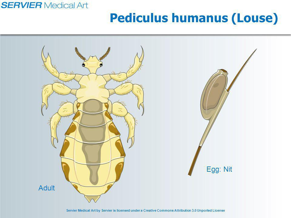Servier Medical Art by Servier is licensed under a Creative Commons Attribution 3.0 Unported License Pediculus humanus (Louse) Egg: Nit Adult