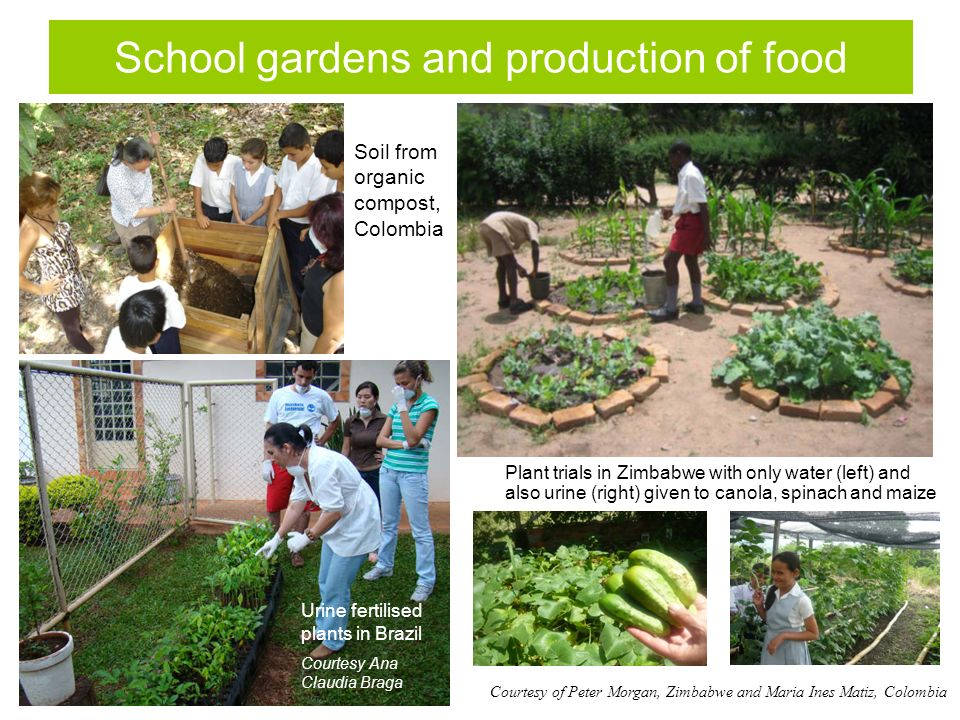 School gardens and production of food Soil from organic compost, Colombia Plant trials in Zimbabwe with only water (left) and also urine (right) given to canola, spinach and maize Courtesy of Peter Morgan, Zimbabwe and Maria Ines Matiz, Colombia Urine fertilised plants in Brazil Courtesy Ana Claudia Braga