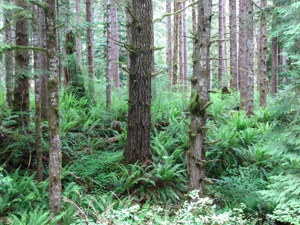 Results (continued): Improved diameter growth of understory trees Improved diameter growth of understory trees UST 11/01 5-yr radial growth post-thin 0.35 5-yr radial growth pre-thin 0.22 59% increase in diameter growth 5 inch X 30 foot hemlock UST 11/2001 2nd CT1998 2nd CT 1998