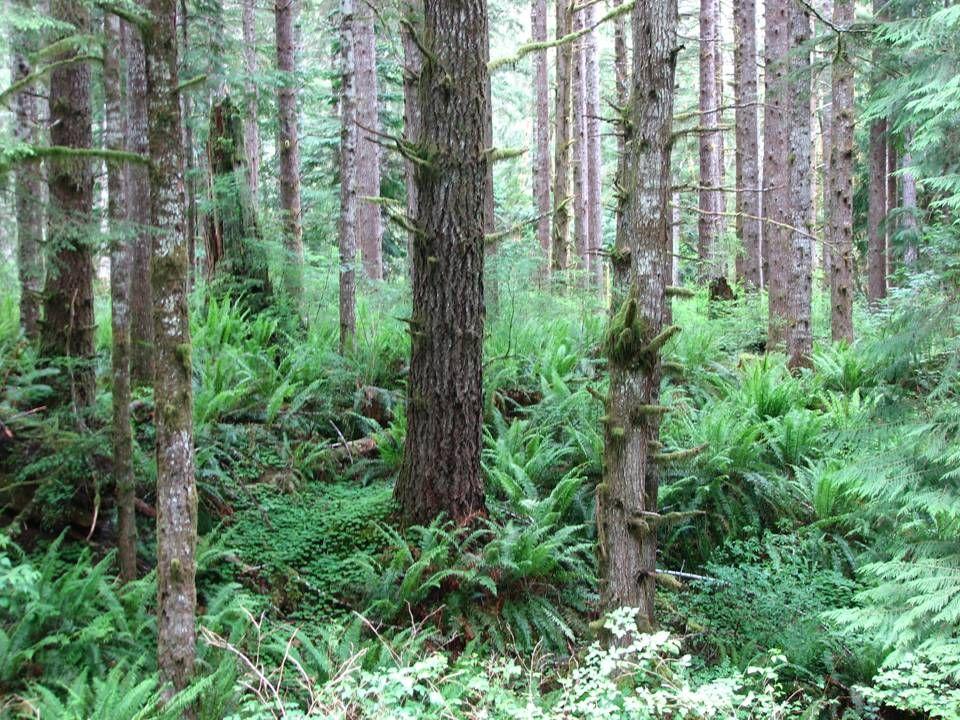 Verne Farrell, Silviculturist Olympic National Forest 437 Tillicum Lane Forks, WA 98331 360-374-1246vfarrell@fs.fed.us Railsiding Understory Thin Non-