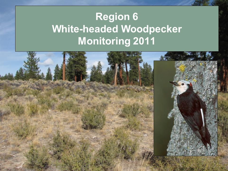 Region 6 White-headed Woodpecker Monitoring 2011