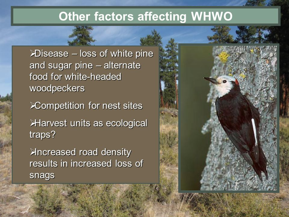 Other factors affecting WHWO Disease – loss of white pine and sugar pine – alternate food for white-headed woodpeckers Disease – loss of white pine an