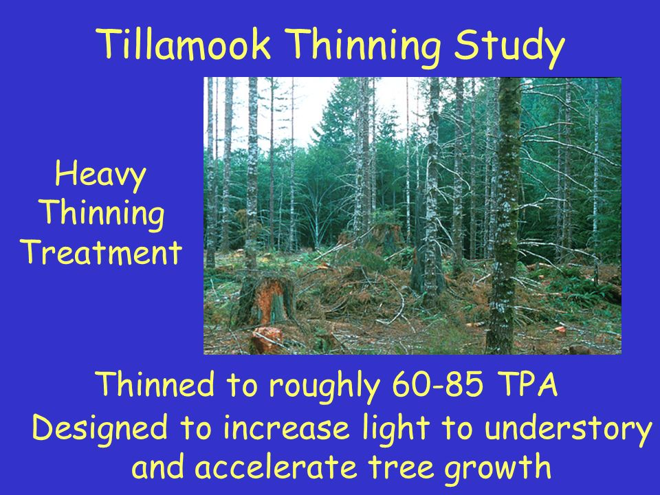 Heavy Thinning Treatment Thinned to roughly 60-85 TPA Designed to increase light to understory and accelerate tree growth Tillamook Thinning Study