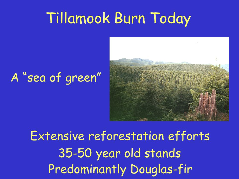 Tillamook Burn Today A sea of green Extensive reforestation efforts 35-50 year old stands Predominantly Douglas-fir