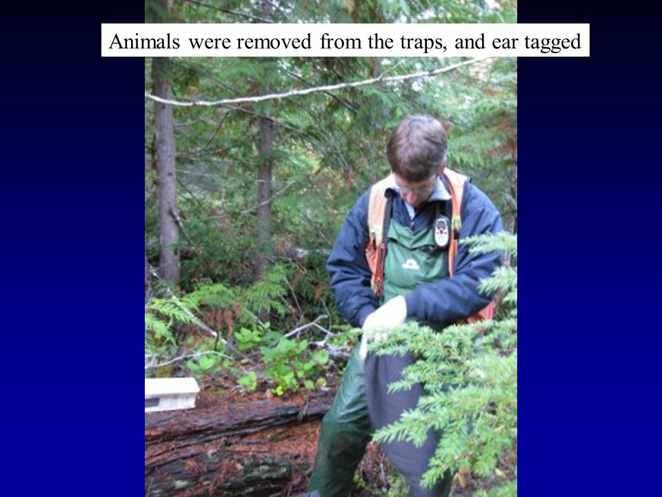 Animals were removed from the traps, and ear tagged