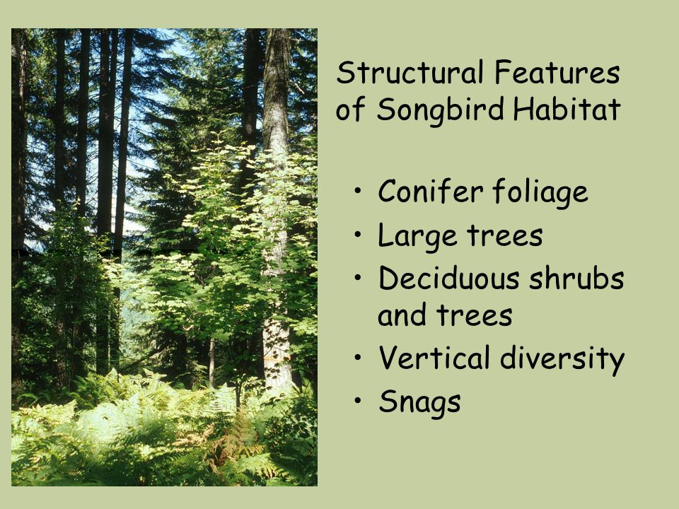 Structural Features of Songbird Habitat Conifer foliage Large trees Deciduous shrubs and trees Vertical diversity Snags