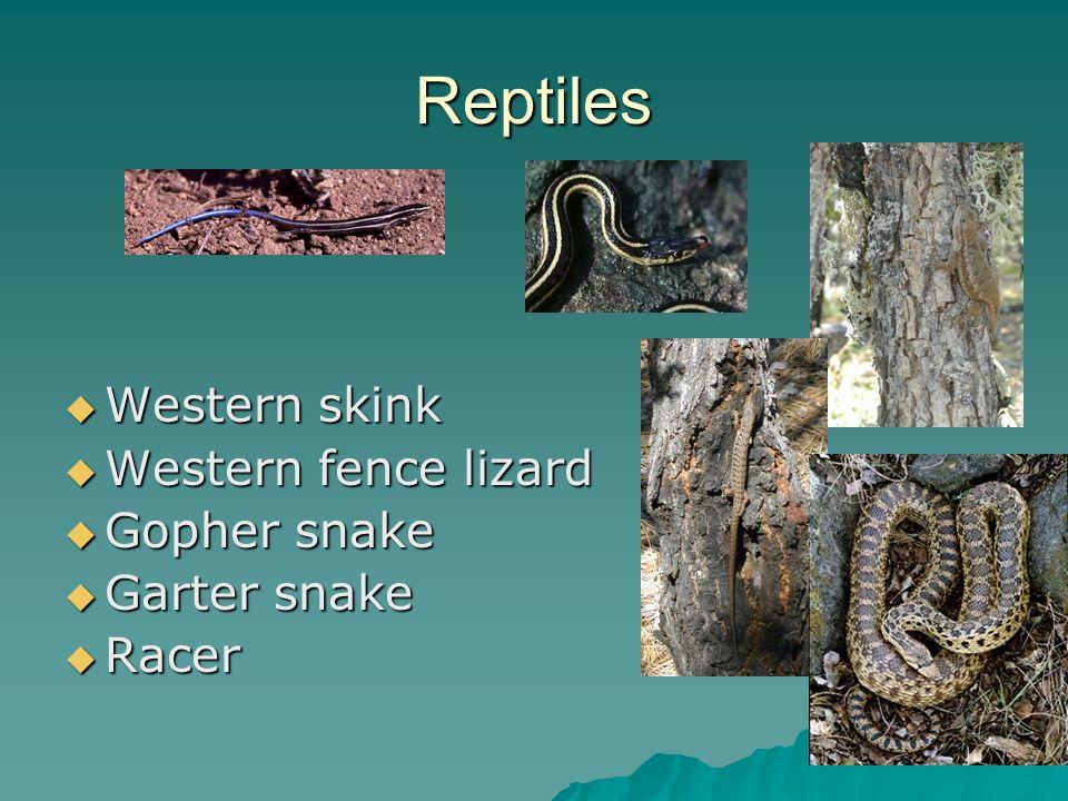 Reptiles Western skink Western skink Western fence lizard Western fence lizard Gopher snake Gopher snake Garter snake Garter snake Racer Racer