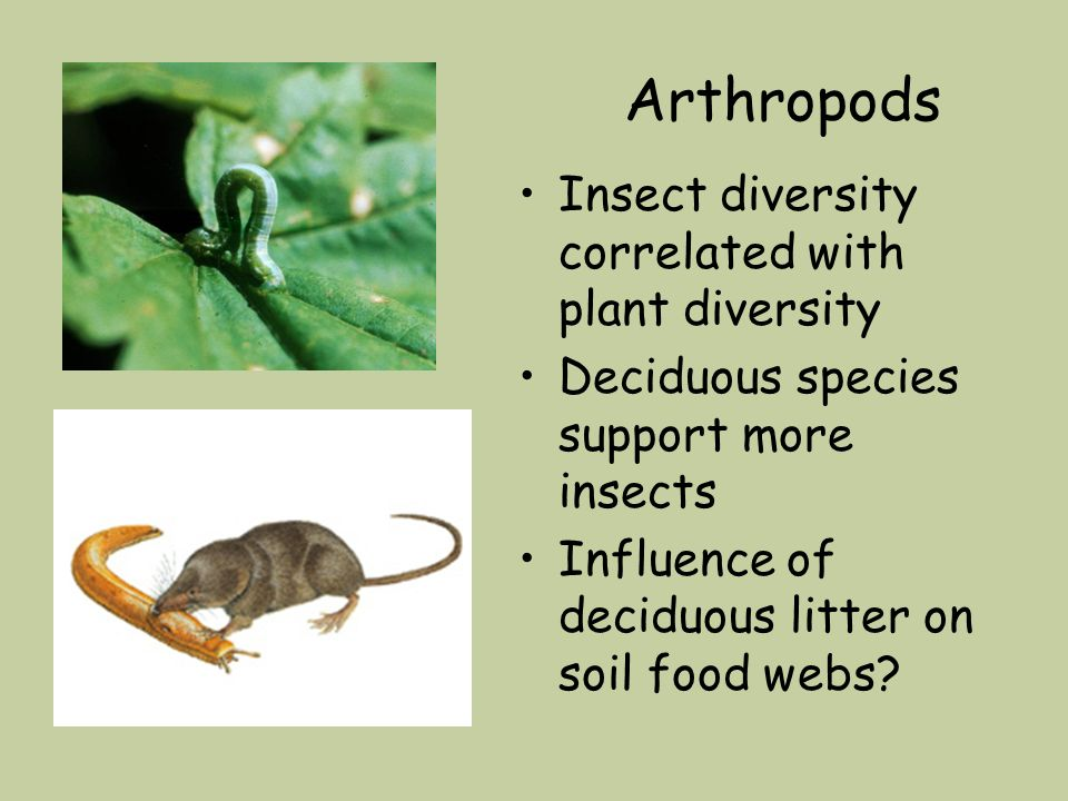 Arthropods Insect diversity correlated with plant diversity Deciduous species support more insects Influence of deciduous litter on soil food webs?