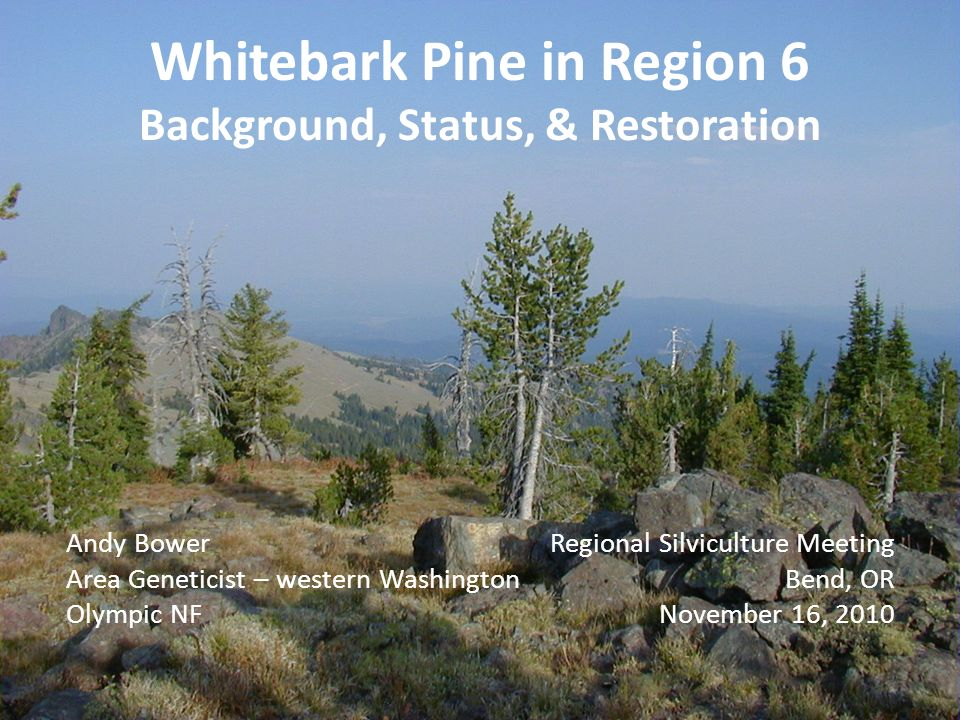 Whitebark Pine in Region 6 Background, Status, & Restoration Andy Bower Area Geneticist – western Washington Olympic NF Regional Silviculture Meeting