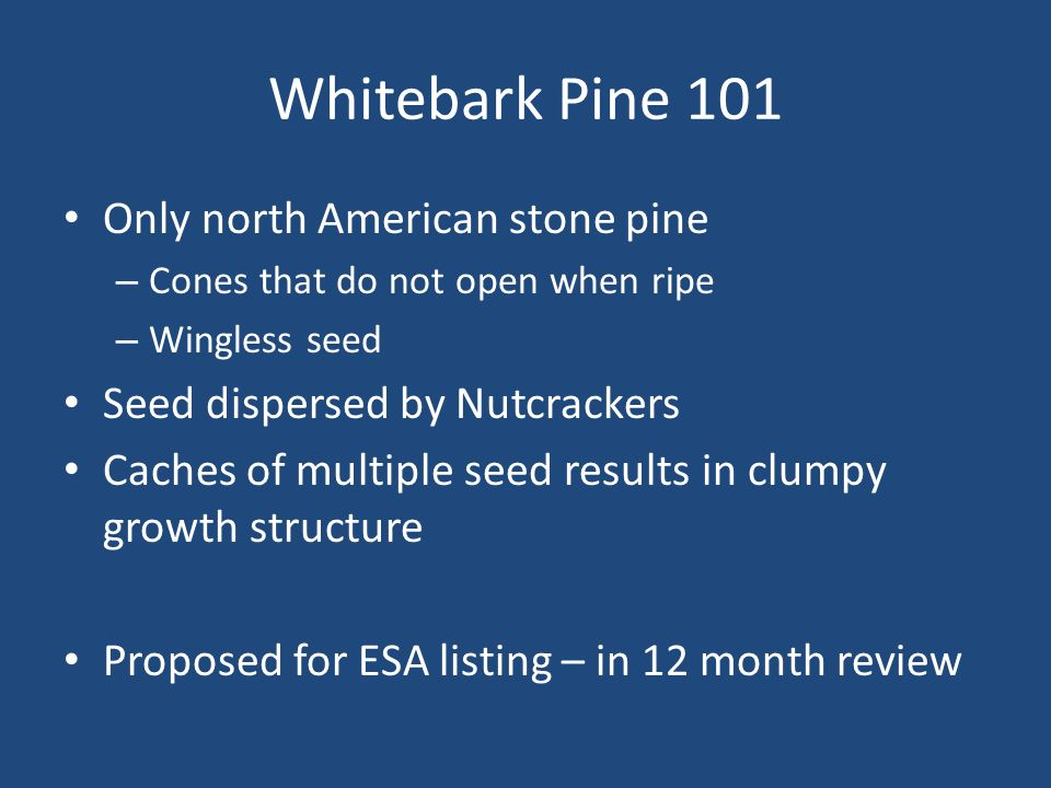 Whitebark Pine 101 Only north American stone pine – Cones that do not open when ripe – Wingless seed Seed dispersed by Nutcrackers Caches of multiple seed results in clumpy growth structure Proposed for ESA listing – in 12 month review