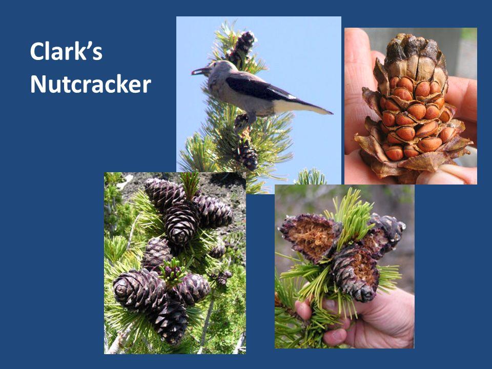 Clarks Nutcracker